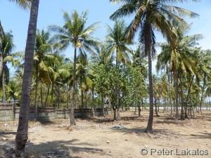 Kokosnüsse für die Touristen