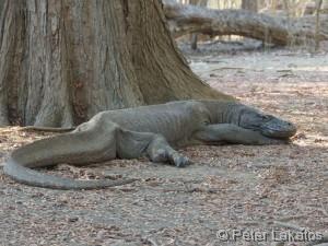 Abgemagerter Komodo Waran
