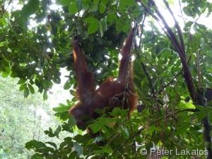 An seinem linken Arm und Bein hängt der Orang Utan im Ast