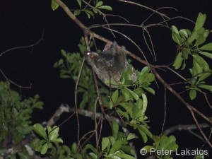 Fliegender Lemur