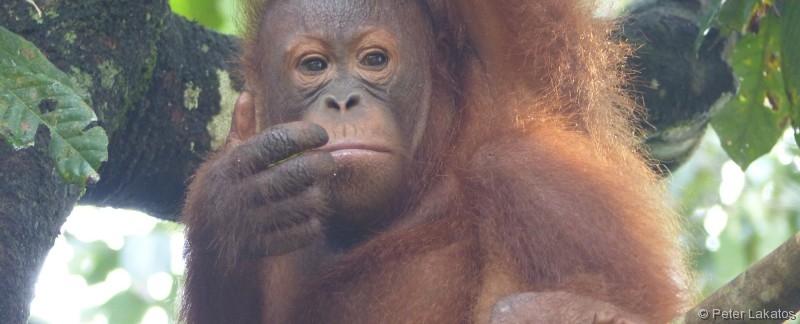 Orang Utan - woran er wohl denkt