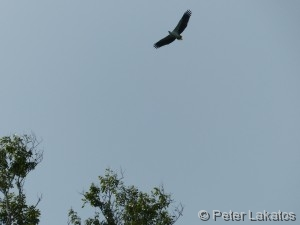 Adler am Himmel