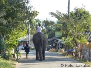 Elefant auf der Strasse