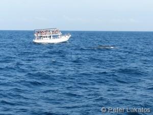 Blauwal an der Oberfläche