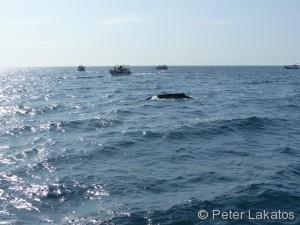 Ein Blauwal beim Luft holen