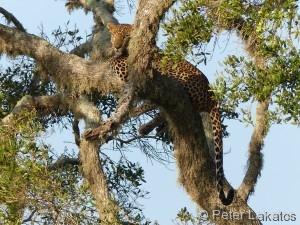 Der Sri-Lanka-Leopard