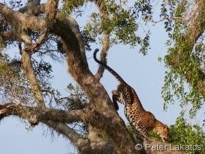 Und der Leopard verschwand elegant