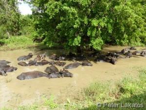 Wasserbüffel im Schlamm