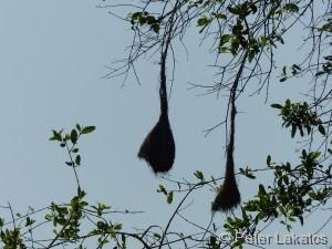 Webervogelnest
