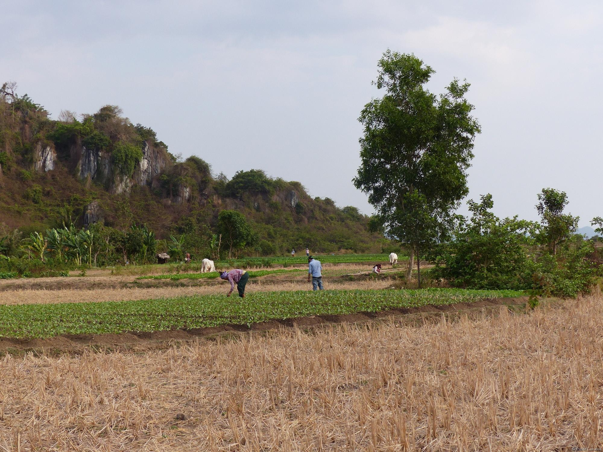 Ackerbau in Kambodscha