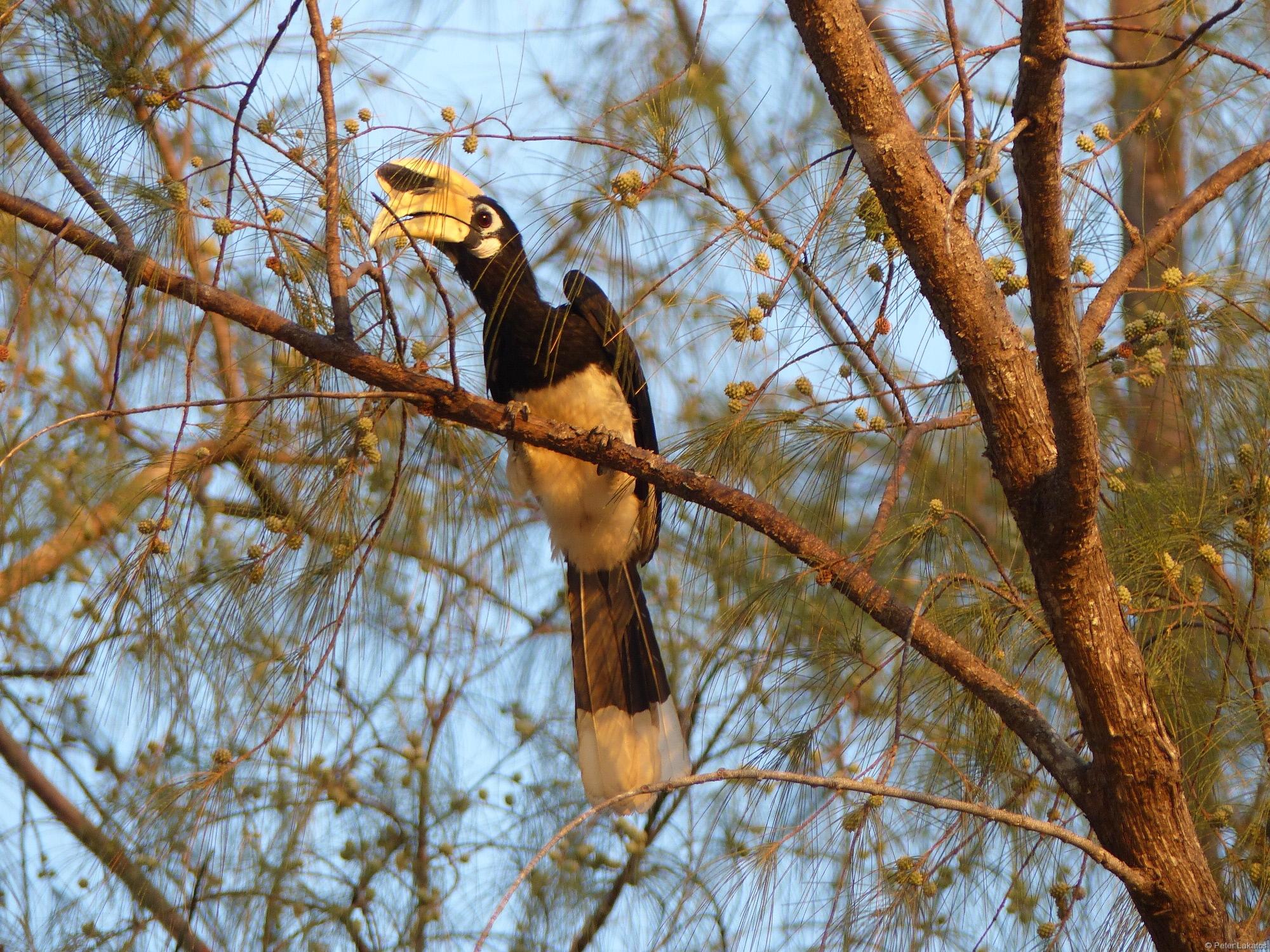 Heimat des Hornbill