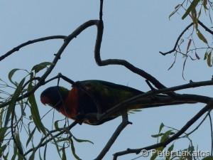 Papagei statt Amsel