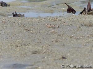Strandkrebse