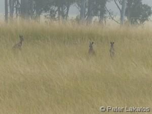 Auf dem Weg nach Townsville haben wir dann endlich auch Mal lebende Kängurus gesehen...