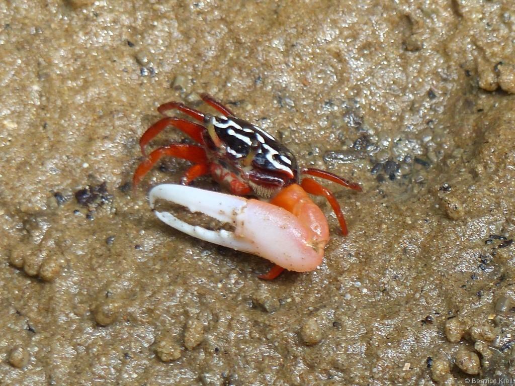 Winzige Krabbe mit riesiger Schere
