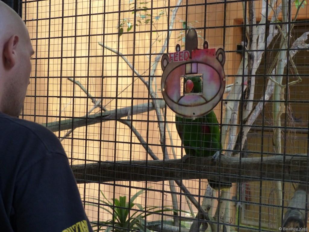 Der Papagei wartet geduldig an der Futterlucke.