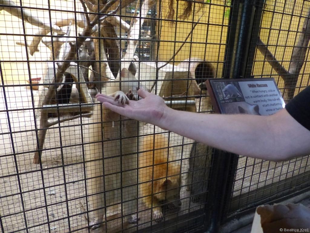 Fütterung der Waschbären im Wildlife Park