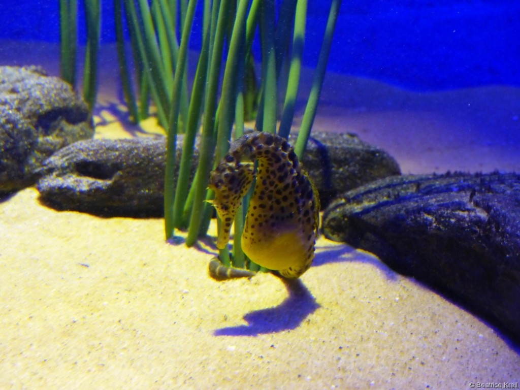 Seepferdchen in der Underwater World