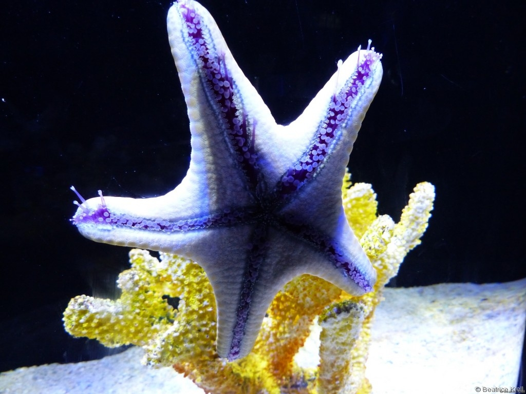 Seestern in der Underwater World
