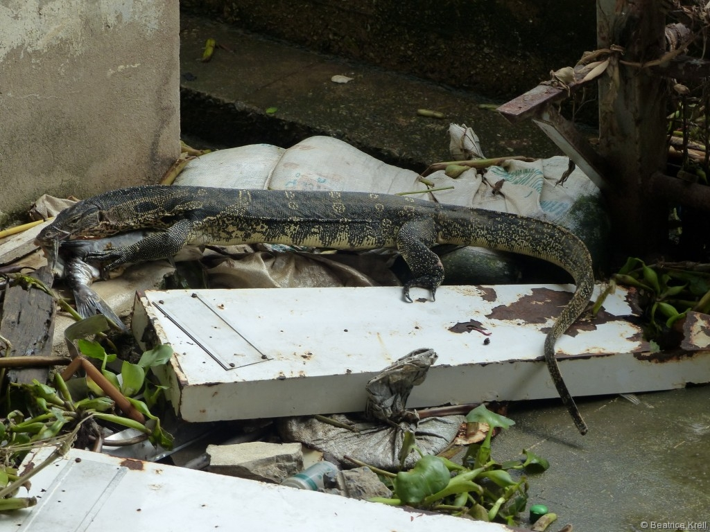 Urzeitechse frisst sich durch den Müll am Fluß Chao Phraya in Bangkok