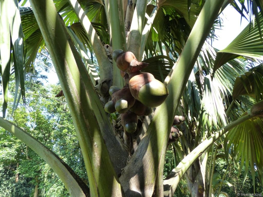 Die Doppelkokosnüsse im Botanischen Garten waren auch größer als gewöhnliche Kokosnüsse.