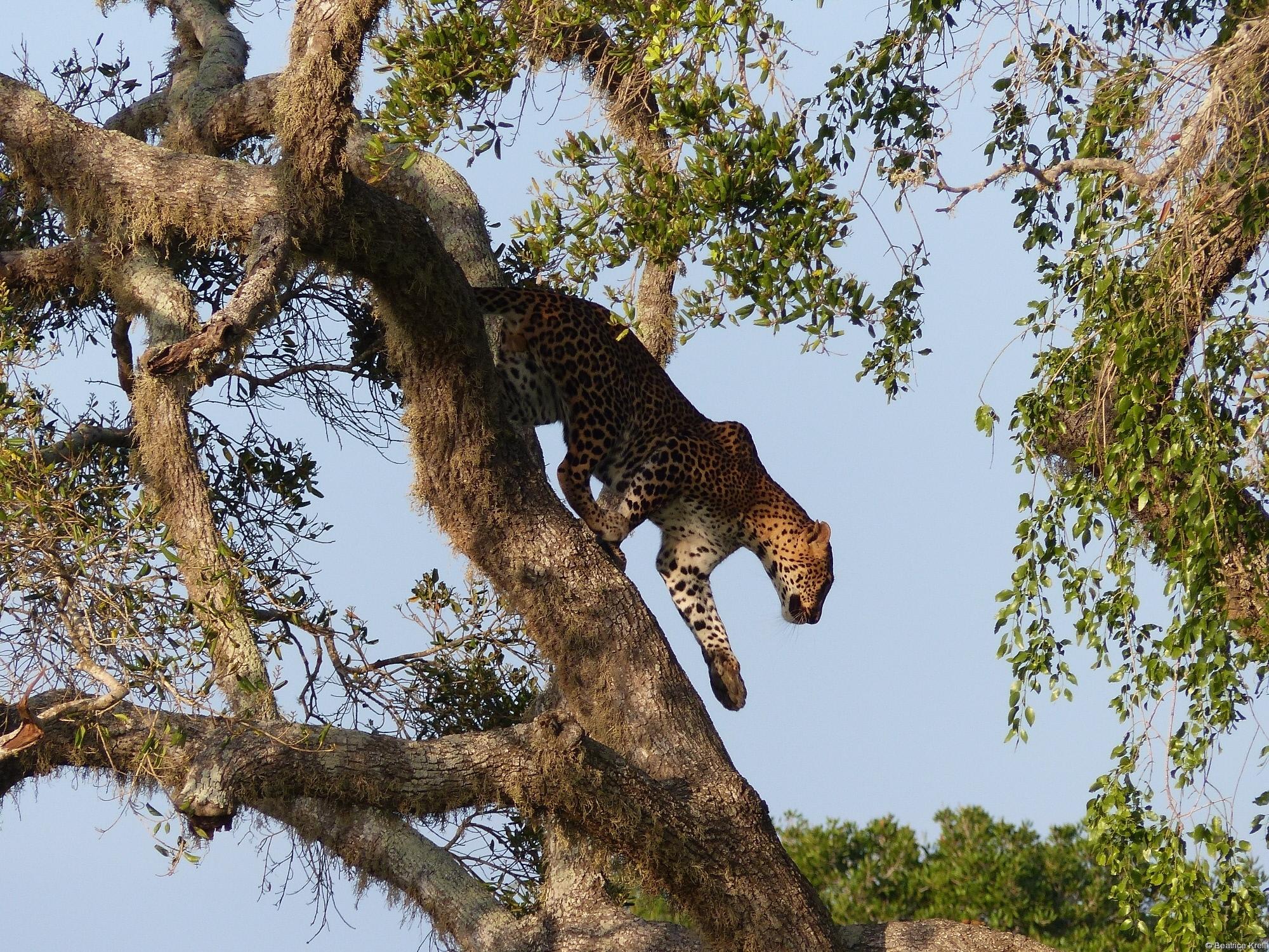 Sri-Lanka-Leopard