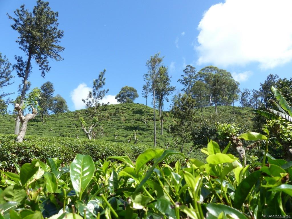 Teeplantagen in den Bergen Sri Lankas