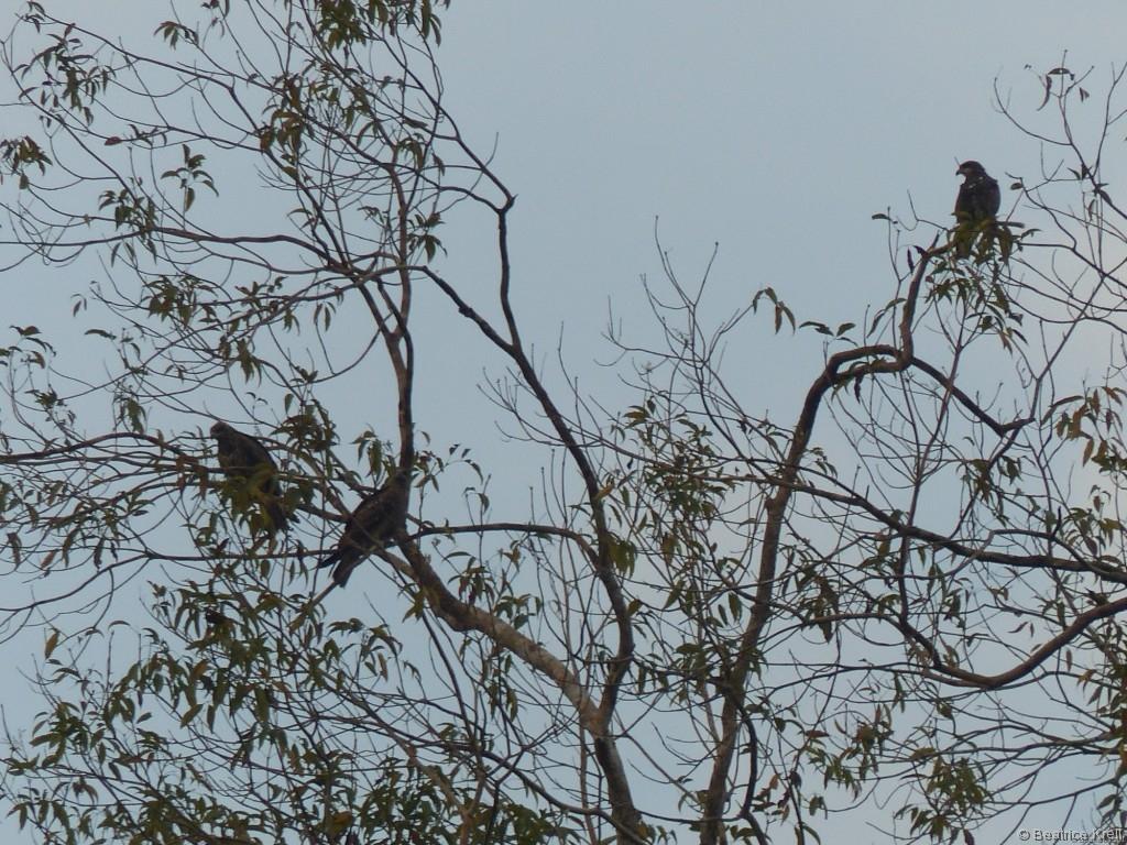 Zahlreiche Greifvögel saßen auf einem Baum am Stausee ...