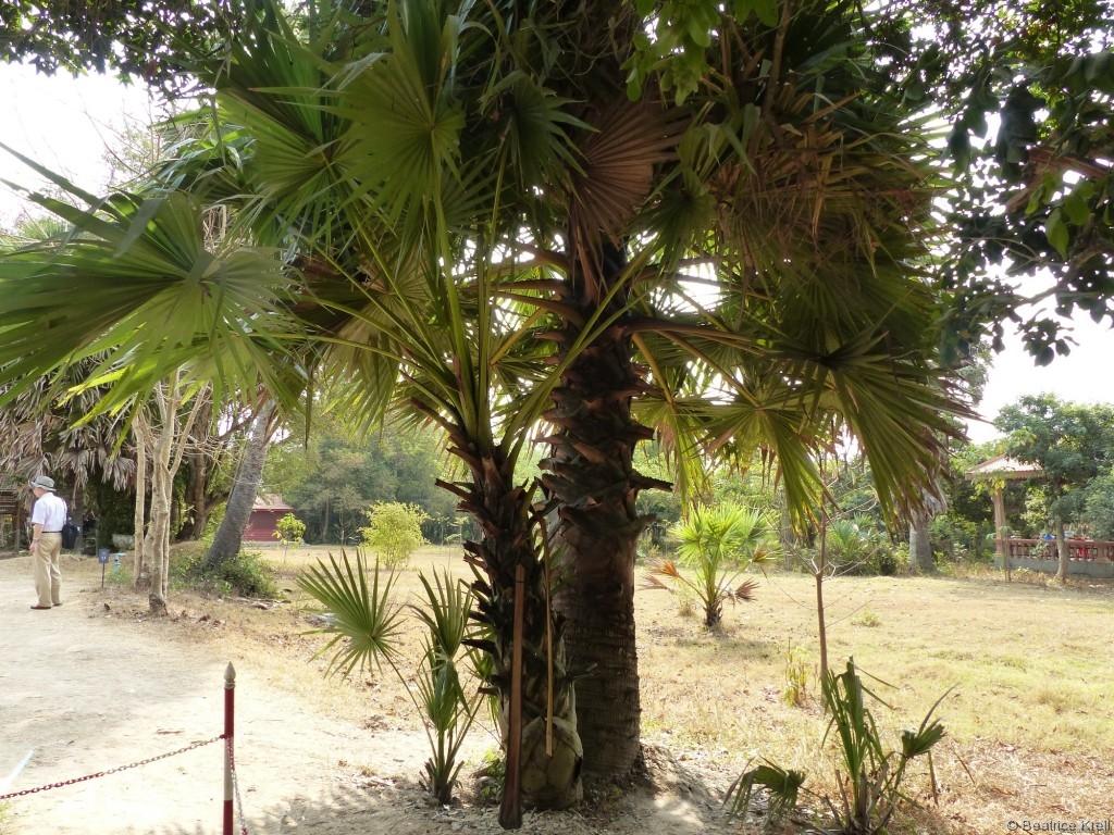 Die Blätter dieser wunderschönen Palme können als Waffe missbraucht werden.