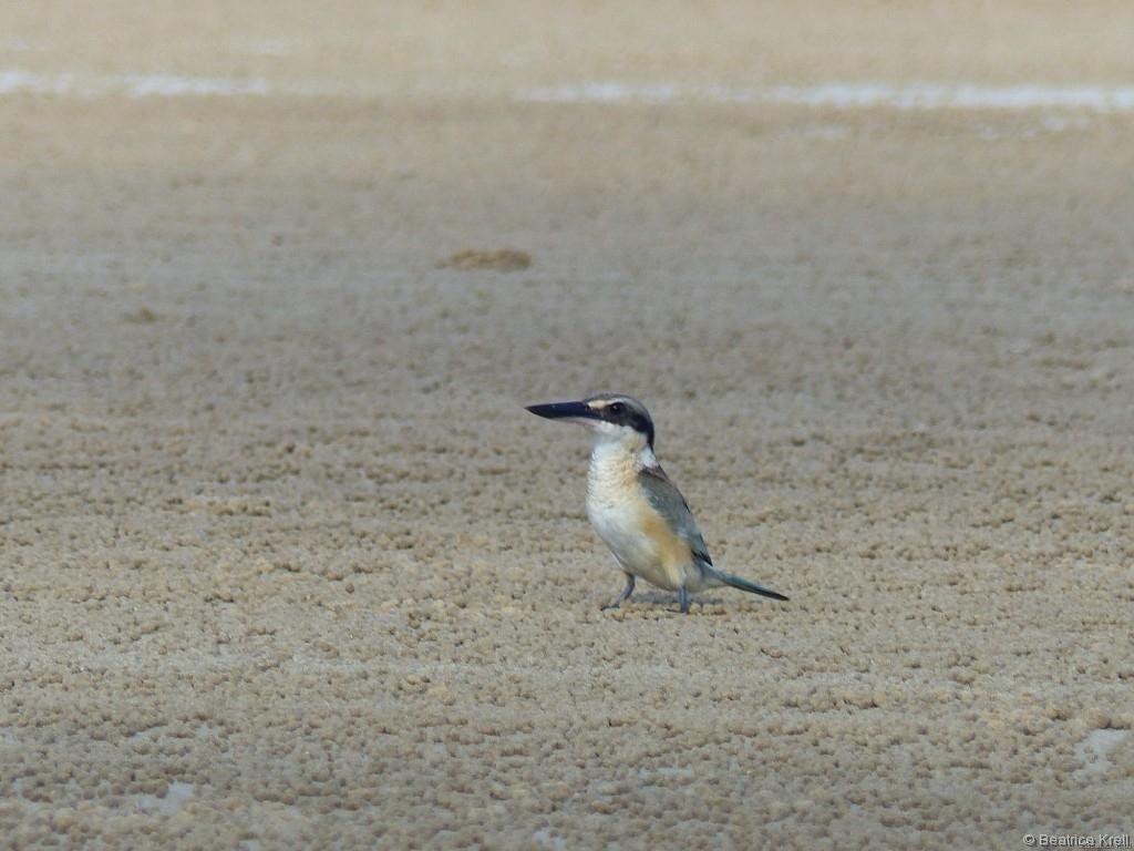 Ein paar tierische Bewohner gibt es auch am Mission Beach.