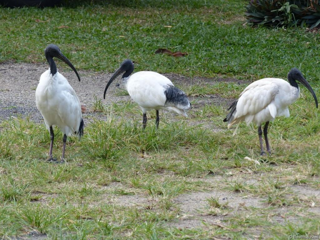 Zwischen diesen komischen Vögeln vom Campingplatz in Cairns ...