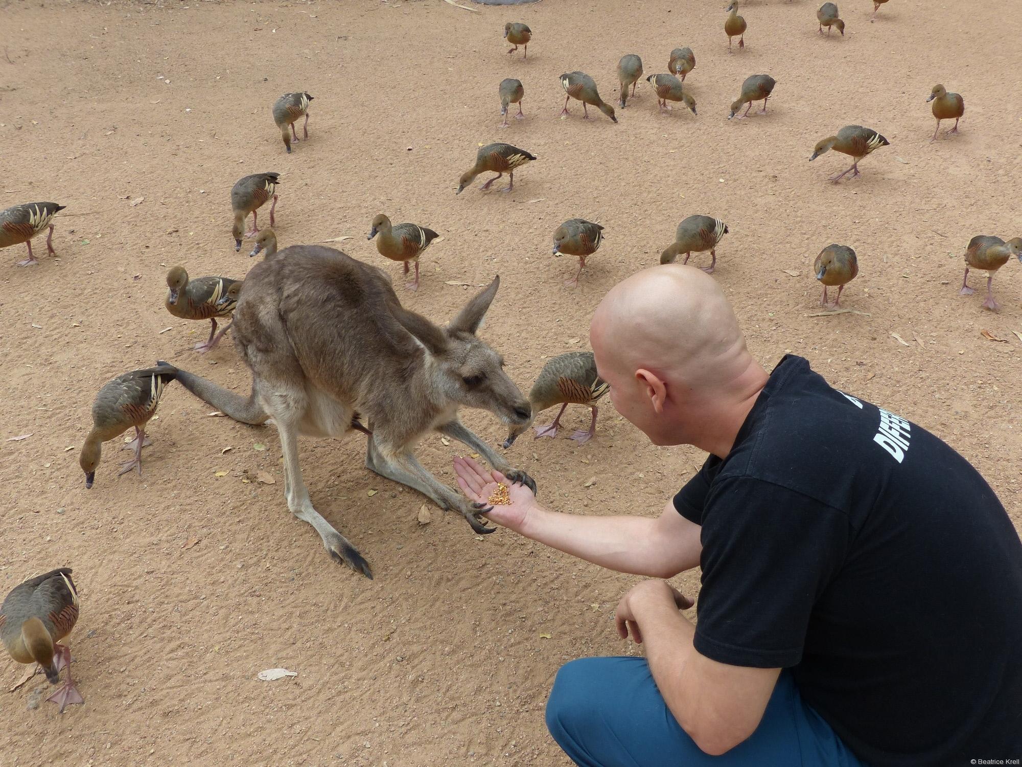 ... Känguruhs gefüttert ...