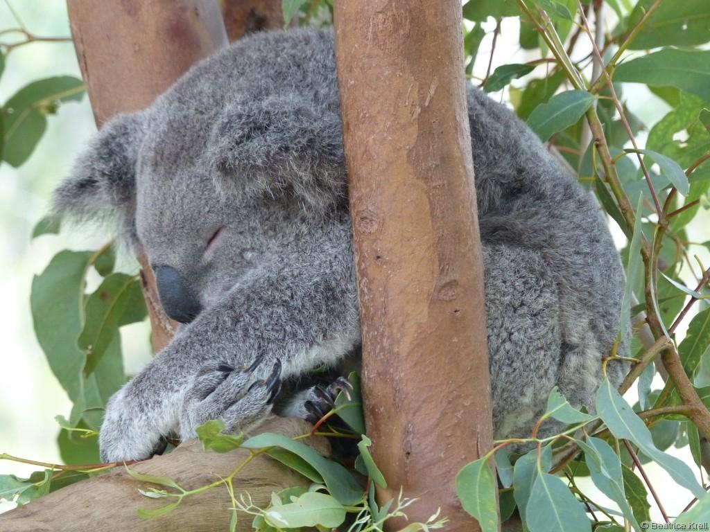 ... und Koalabären zu sehen.